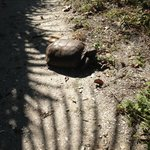 Gopher tortise on Marco Island
