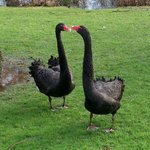 Black swans on the grounds, very friendly