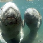 Mother and Baby Manatee by Capt Joe
