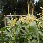 rapidly maturing corn in the house vege. garden