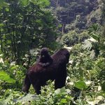 Bwindi Impenetrable Forest!