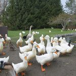 Happy ducks and geese waiting to be fed