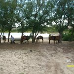 """Some of the """"island ponies"""""""
