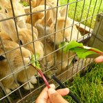 Movable rabbit cage