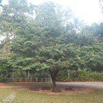 The tree in the yard.