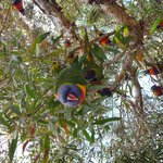 Hello! Rosellas abound