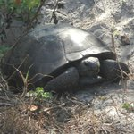 Another gopher tortoise near the welcome center