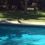 our morning iguana by the pool