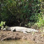 crocodile (river Zuari trip)