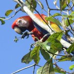 Scarlet Macaw feeding above our room