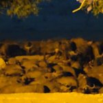 buffalo headed towards the watering hole (around 6.30pm)