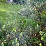 Spider web with morning dew on the lemon tree in the yard