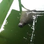 Manatee in canal, just outside our room