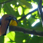 de yellowbreasted trogon