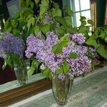 Lilacs scent the house in spring - from more than 50 bushes on site.