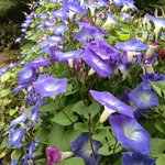 Morning glories at Poolside