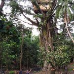 41 steps up in a banyan tree