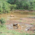 Game drive: Hyenas taking a bath