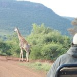 Game drive: giraffe