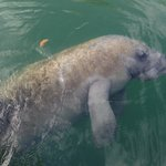 local wildlife - a manatee
