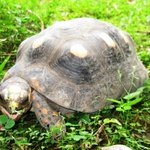 Tortoise at Mount Victory Camp
