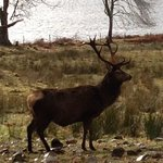 Red deer stag in the morning.