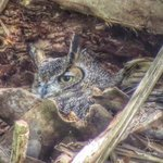 Great Horned Owl, in a Sabal Palm