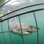gansbaai cage diving