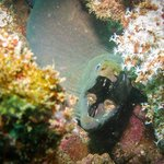 Panamic Green Moray