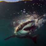 White Shark Adventures Foto