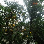 Lemon trees right outside hotel