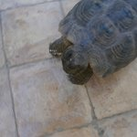 tortoise waiting for dinner in Asrari