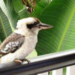 Kookaburra arrives for breakfast time