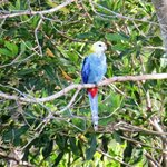 Visitng blue rosella in tree across gully