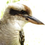 Local kookaburra