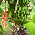 Look closely a Humming bird....between flower and bananas....@Xandari