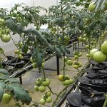 Tomato Production Block - Farm Tour.