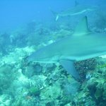 Roatan Shark Dive 2014