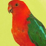 Adult King Parrot