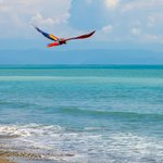 Macaw flying over the beach by Lapa Rios