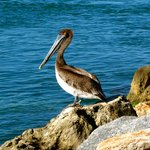 Pelican at the North Jetty
