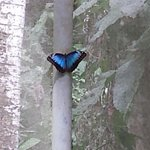 Blue Morpho in garden