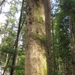 Old growth tree on the trails near Oceanview