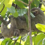 Three-toed Sloth and baby