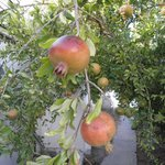 Pomegranates growing in grounds