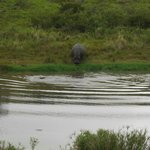 Rare Hippo out of water sighting!