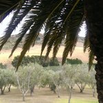 Stonyridge view of palm, olive tree and vines in one