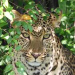 Leopard Close to Us