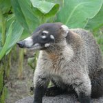 The adorable coatimundi - very sweet