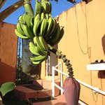 Banana tree outside our room